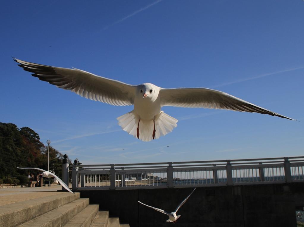 _3174 ユリカモメ 冬羽 夏羽: 鳥撮り運まかせ