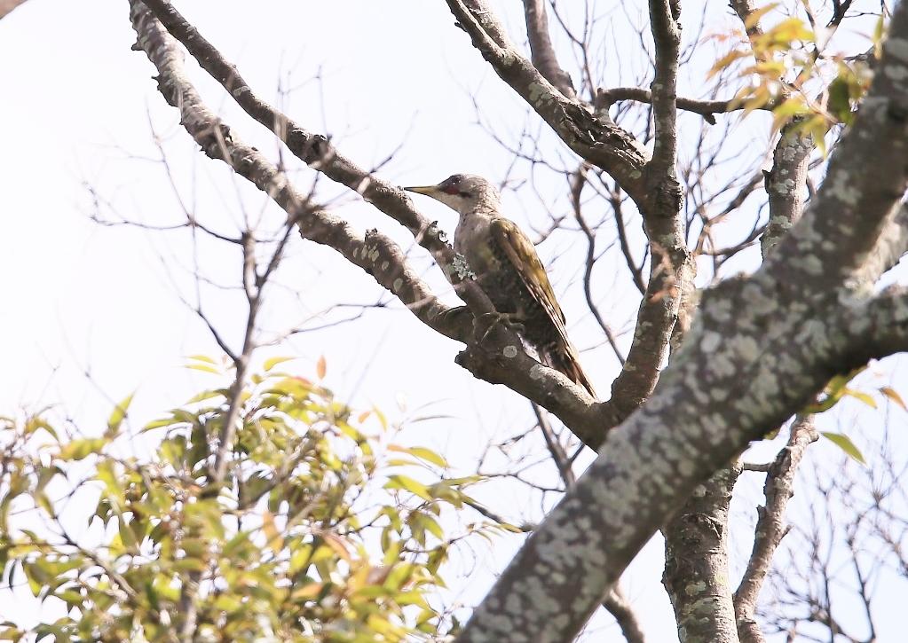 Ay7p8123 蔵出しの アオゲラです: 鳥撮り運まかせ